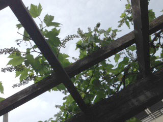 ブドウの実がつきました パーゴラ越しに空を見る-1.jpg