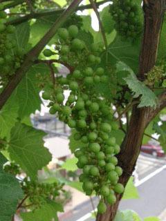ブドウの実がつきました 少し育ちました-1.jpg