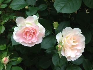 佐内坂のバラ 淡いピンクのフリル大輪.JPG