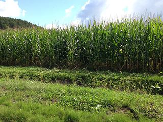 北海道旅行 デントコーン 02 ヒグマの様子見の跡.jpg