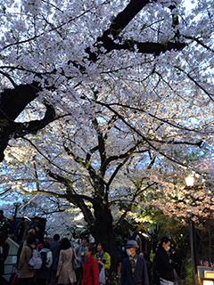 千鳥ヶ淵の夜桜 12 人が多い.jpg