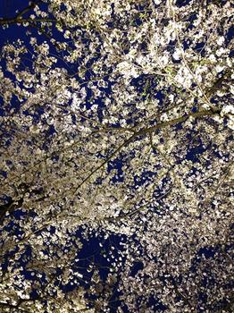 千鳥ヶ淵の夜桜 18 桜しか見えない.jpg