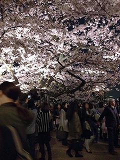 千鳥ヶ淵の夜桜 19 桜と人混み.jpg