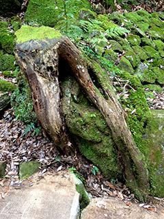 天城湯ヶ島24 捕1 浄蓮の滝 苔むした木の根.jpg