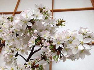 山桜の枝 04 下から見上げる.jpg