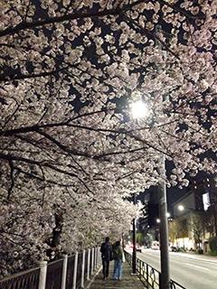 外堀の夜桜 23 並木道.jpg