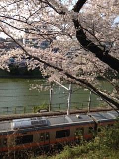 外濠公園の桜 中央線.JPG