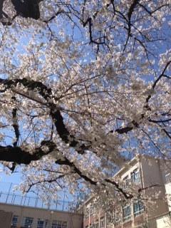 市ヶ谷小学校の桜.JPG