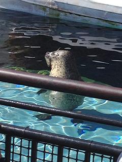 旭山動物園 アザラシ 立ち泳ぎ&凝視.jpg