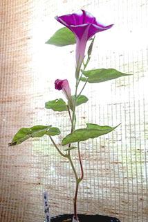 朝顔 白風鈴 2番目の花.jpg