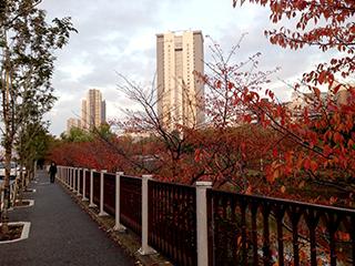 飯田橋 秋景色 外濠沿い 桜が紅葉しました.jpg